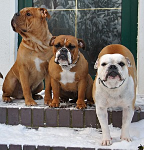 Continental Bulldogs